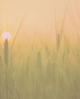 barley-field-1684052_1920_edited.jpg