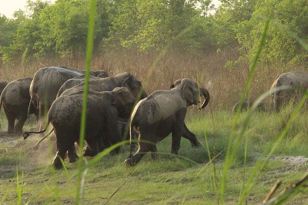 népal éléphants sauvages