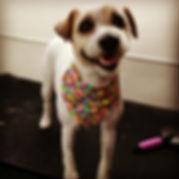 #dogsofinstagram #jackrussellterrier #ja