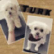 Turk! #maltese #malteseofinstagram #malt