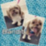 #shihtzusofinstagram #shihtzu #dogsofins