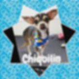 #chihuahua #chihuahuasofinstagram #dogso