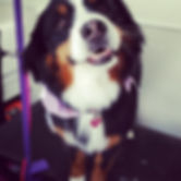 Riley Roo! #doggrooming #bernesemountain