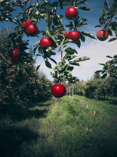 Pomme Cerise