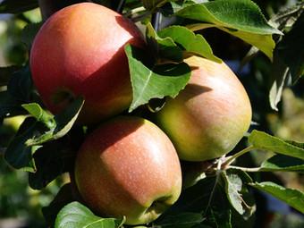 Alte Apfelsorten für Apfelallergiker - Forschungsprojekt startet