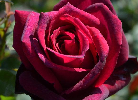Rose - Rosa 'Gräfin Diana'® - 3 L-Container
