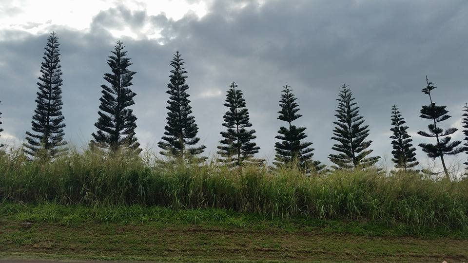 norfolk pines wailua coffee farm