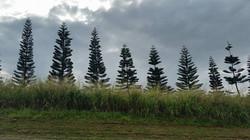 norfolk pines wailua coffee farm
