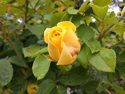 flor amarilla 2.jpg