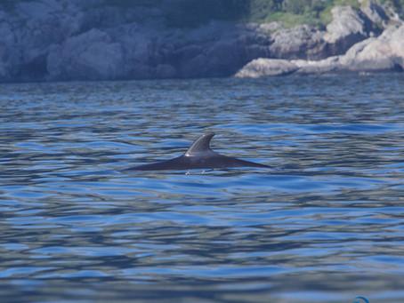 A curious juvenile Minke whale