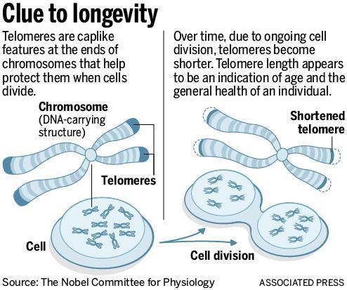 Telomeres1.jpg