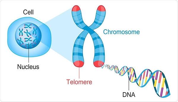 Telomeres.jpg