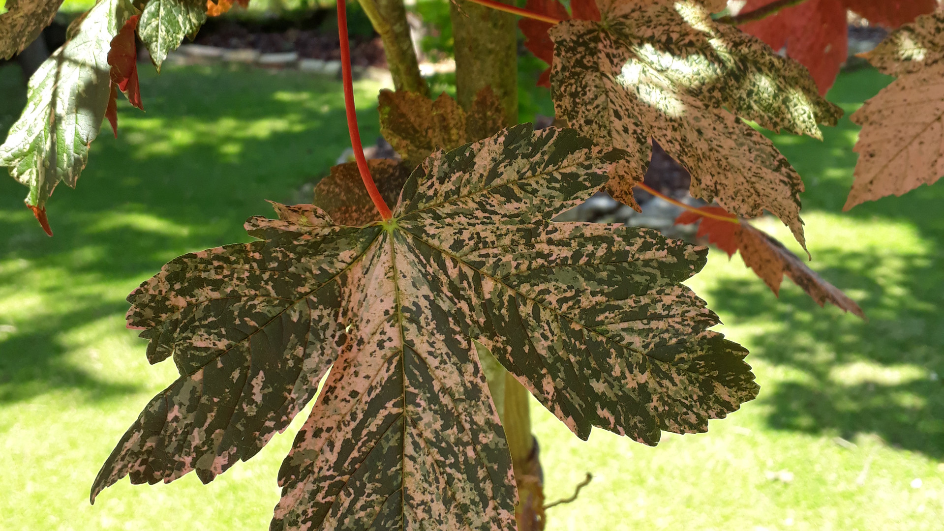 70-Acer pseudoplatanus.jpg