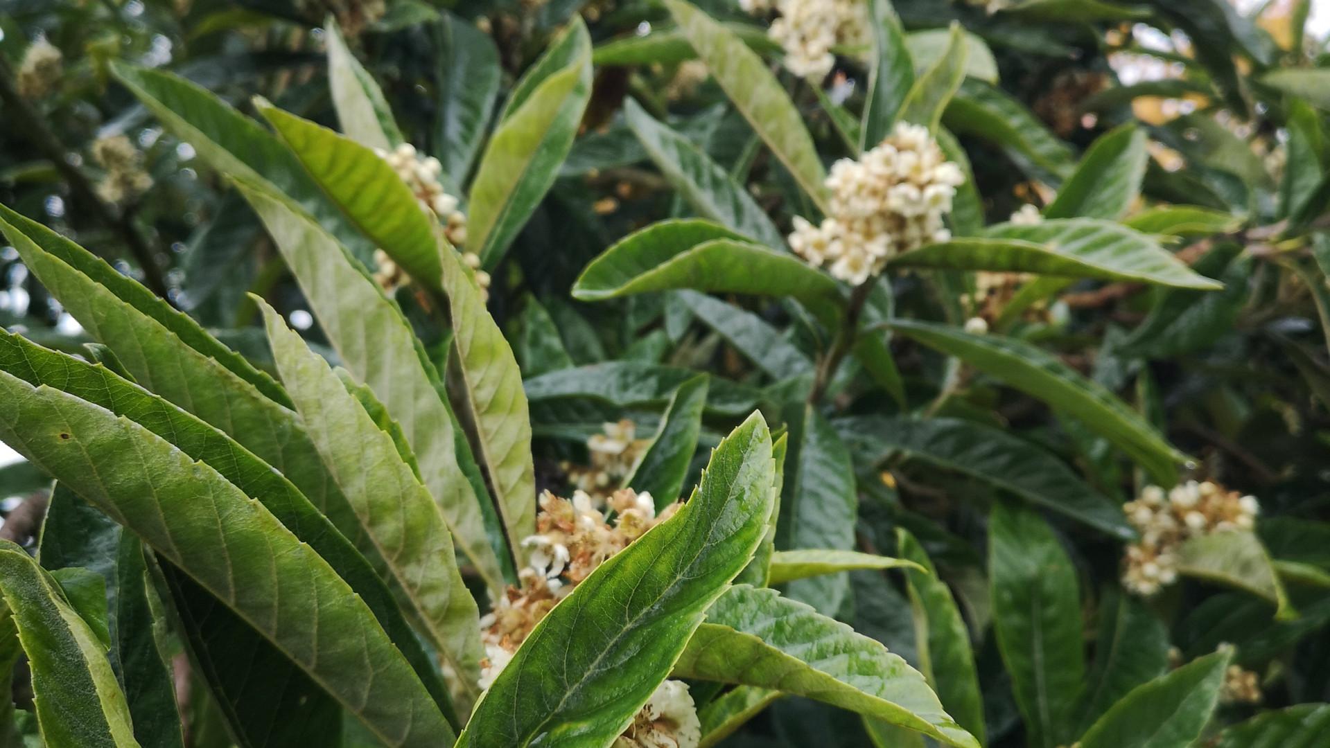 69-eriobotrya japonica.jpg