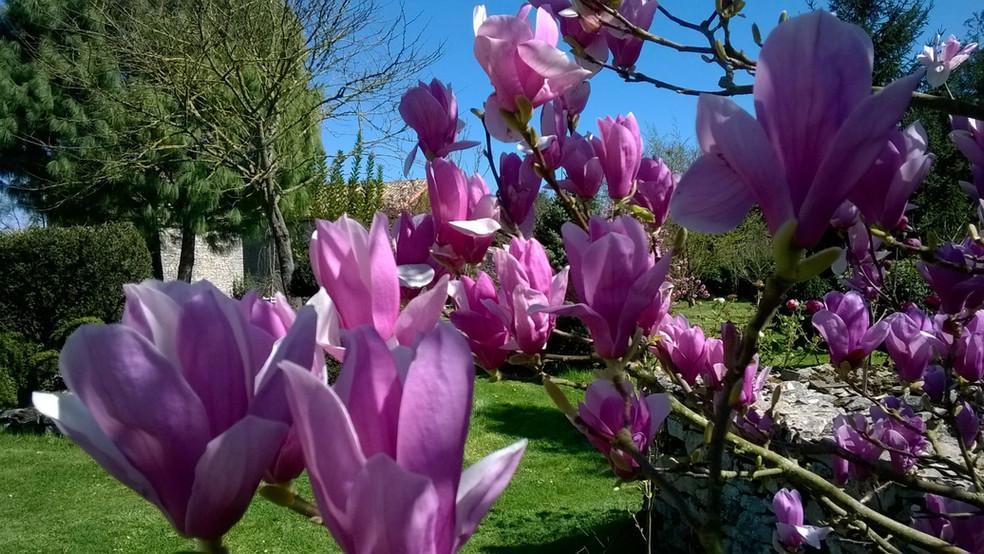 1-magnolia rose.jpg