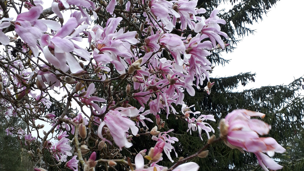 52-magnolia.jpg