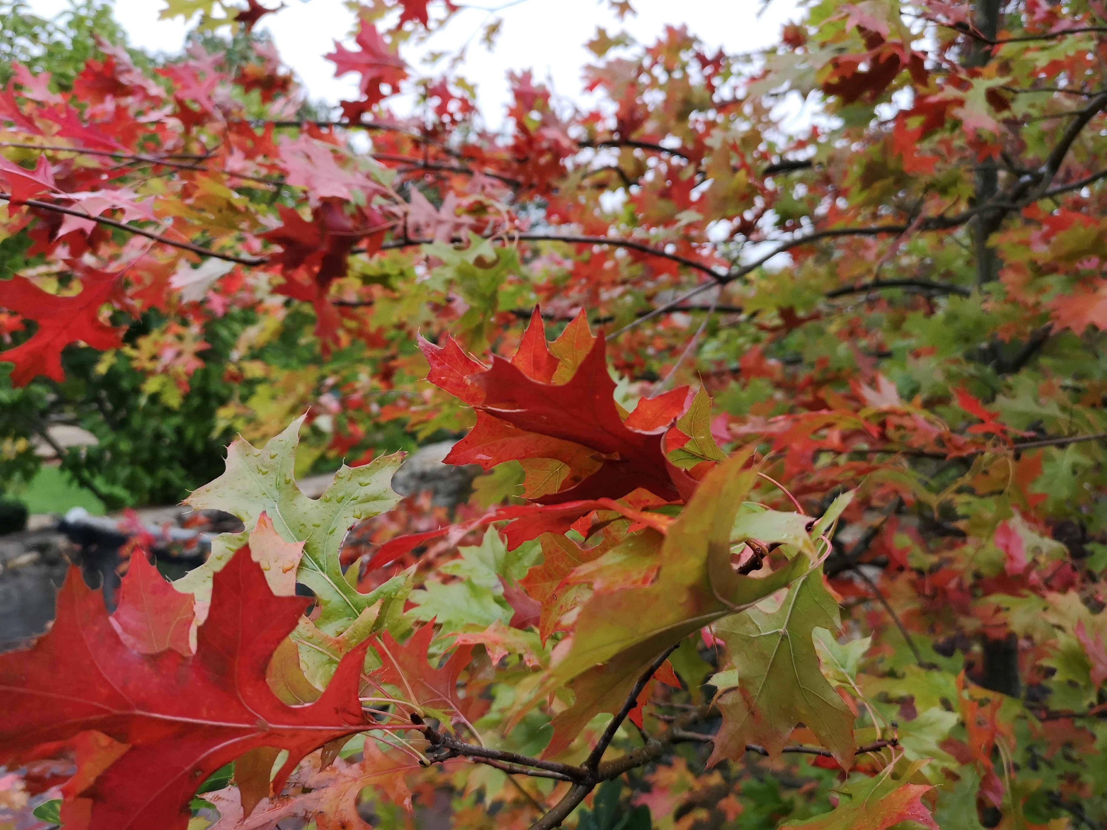Les Quercus