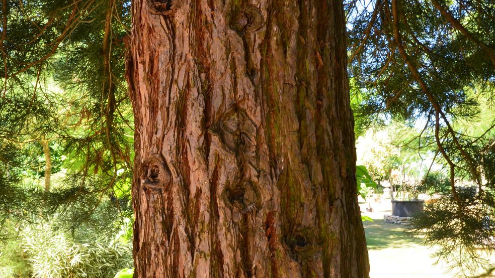 81-sequoia.JPG