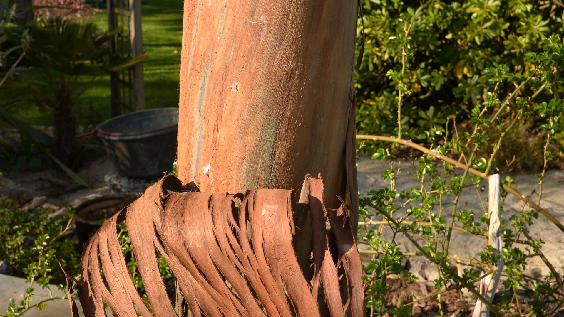 80-eucalyptus.JPG