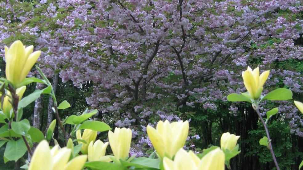 6-le printemps magnolia jaune.JPG