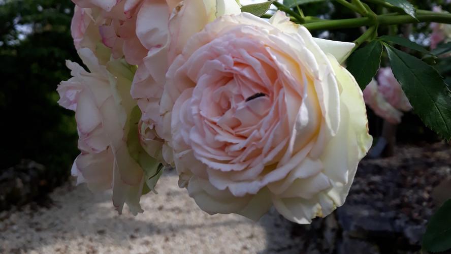 60-rose.jpg
