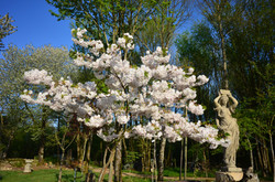 Les Prunus