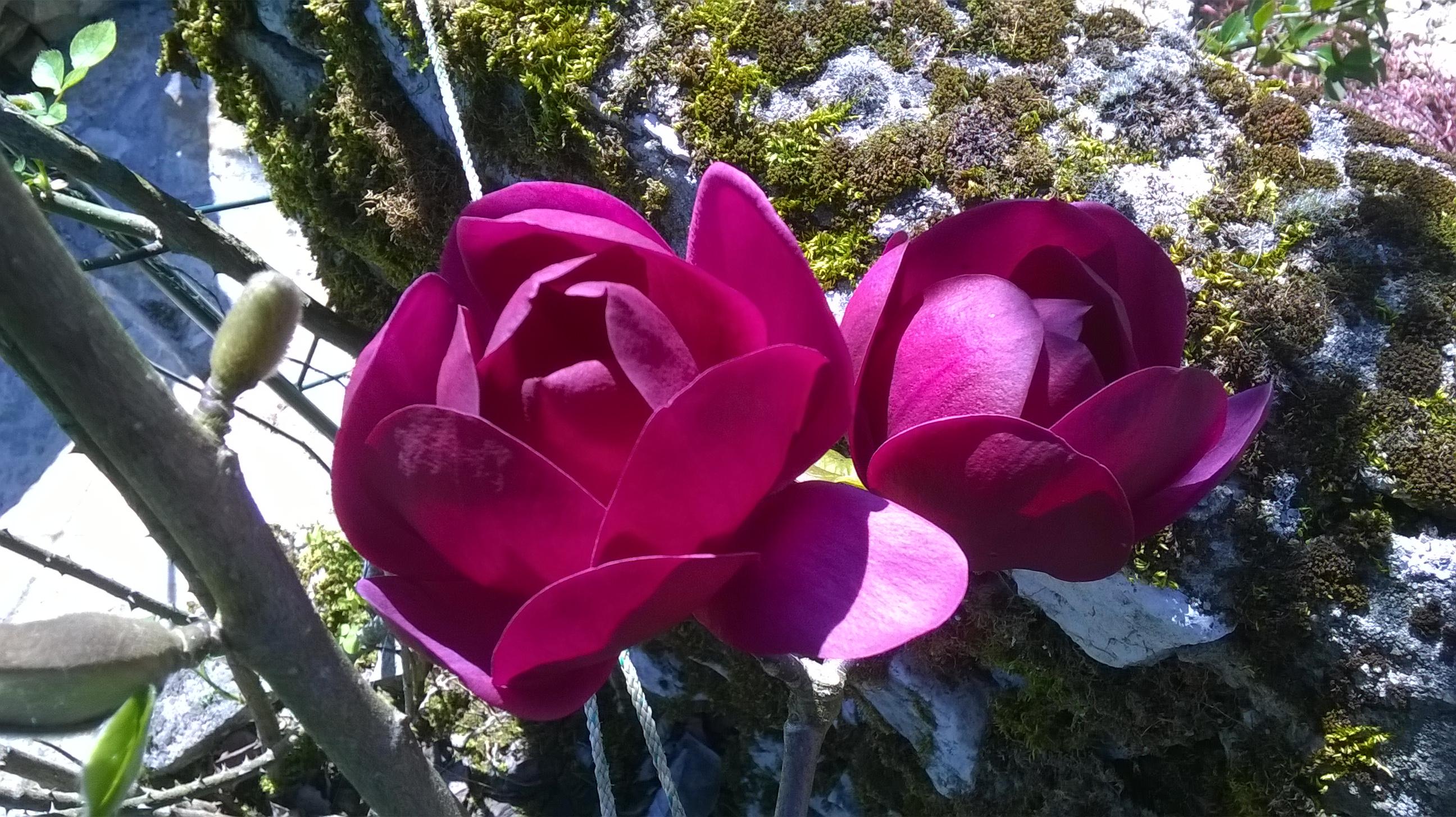 Les Magnolia
