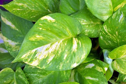 Golden pothos ivy plant leaf