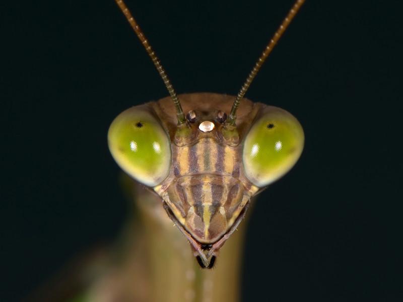 42 Praying Mantis-L.jpg