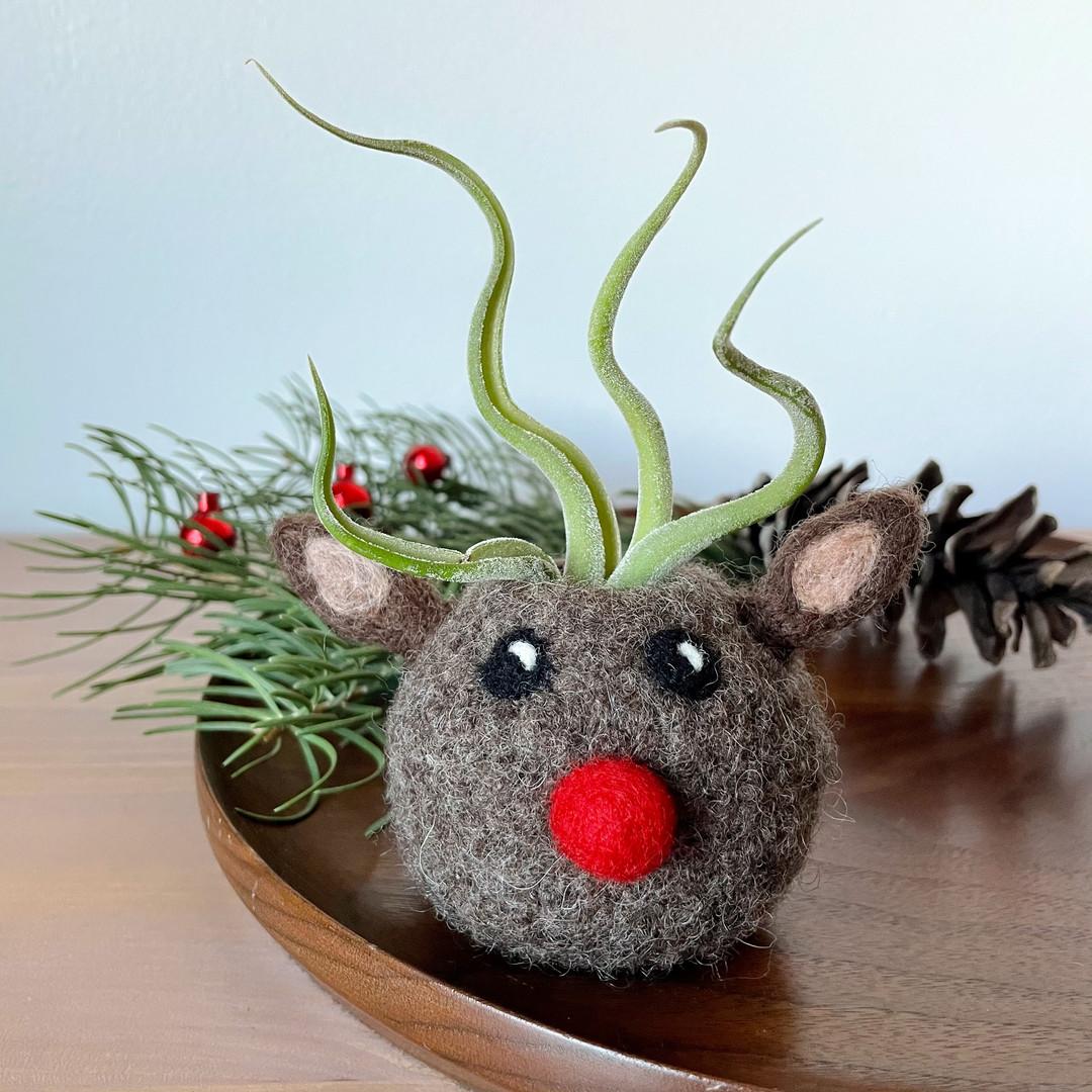 Air Plant Rudolph