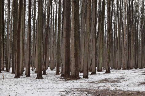 Poplar trees in snow