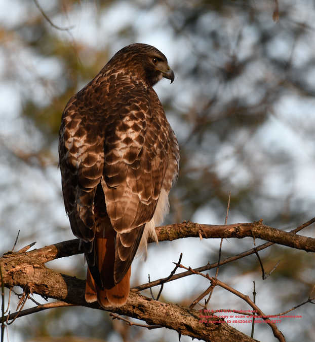 Red Tail
