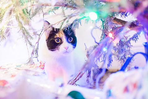 Calico kitten under Christmas tree