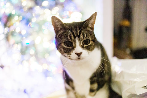 Tabby cat by Christmas tree