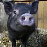 свинья.png