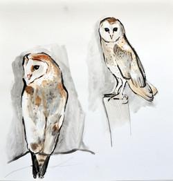 barbagianni- barn owl