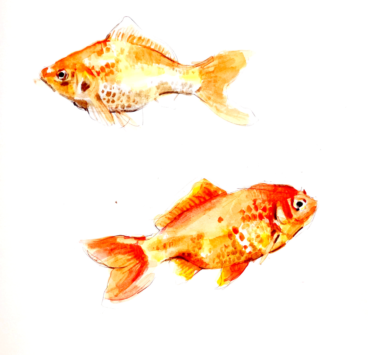 pesci rossi-gold fishes