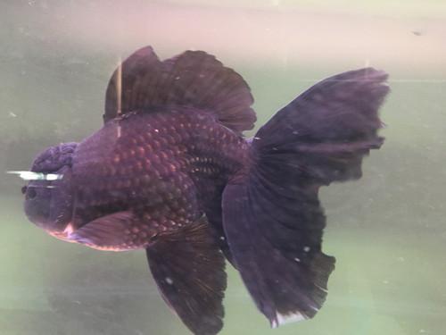 Royal Fancy Goldfish