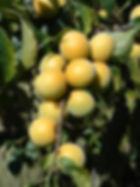 樹上黃熟的梅子.jpg