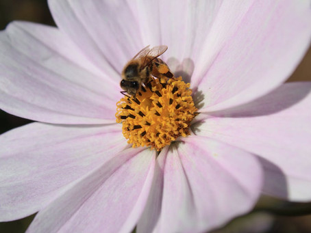 Essential 3 Uses Local Bee's for New Lip Balm