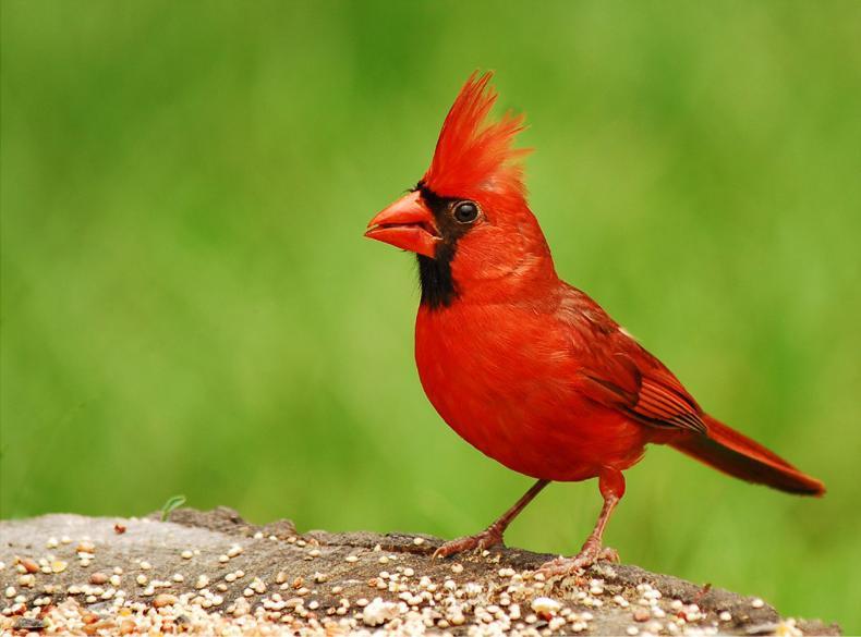 Птица-кардинал. Фотография U.S. Fish and Wildlife Service.