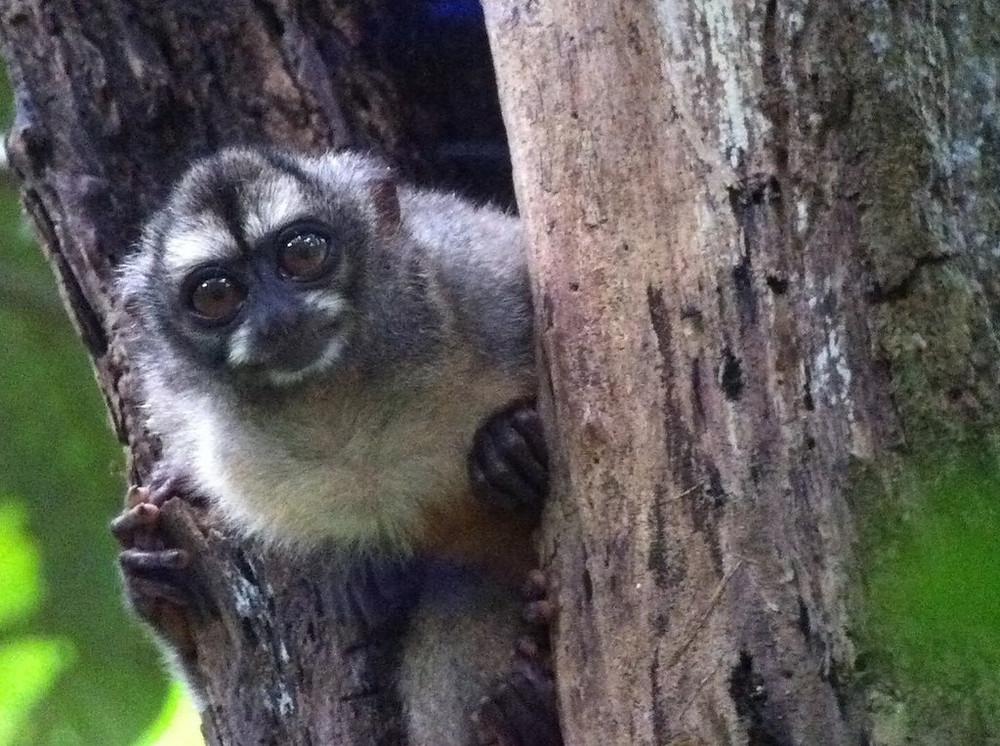 Aotus zonalis, семейство ночных обезьян.