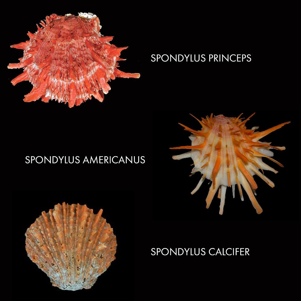 Три основных вида раковин спондилюса, использовавшихся индейцами.