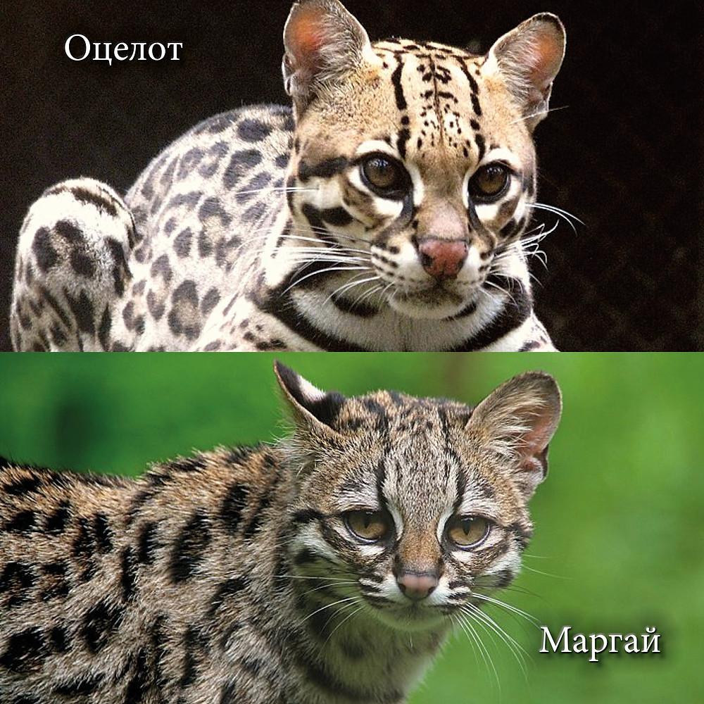 Оцелот (Leopardus pardalis) и Маргай (Длиннохвостая кошка, Leopardus wiedii).