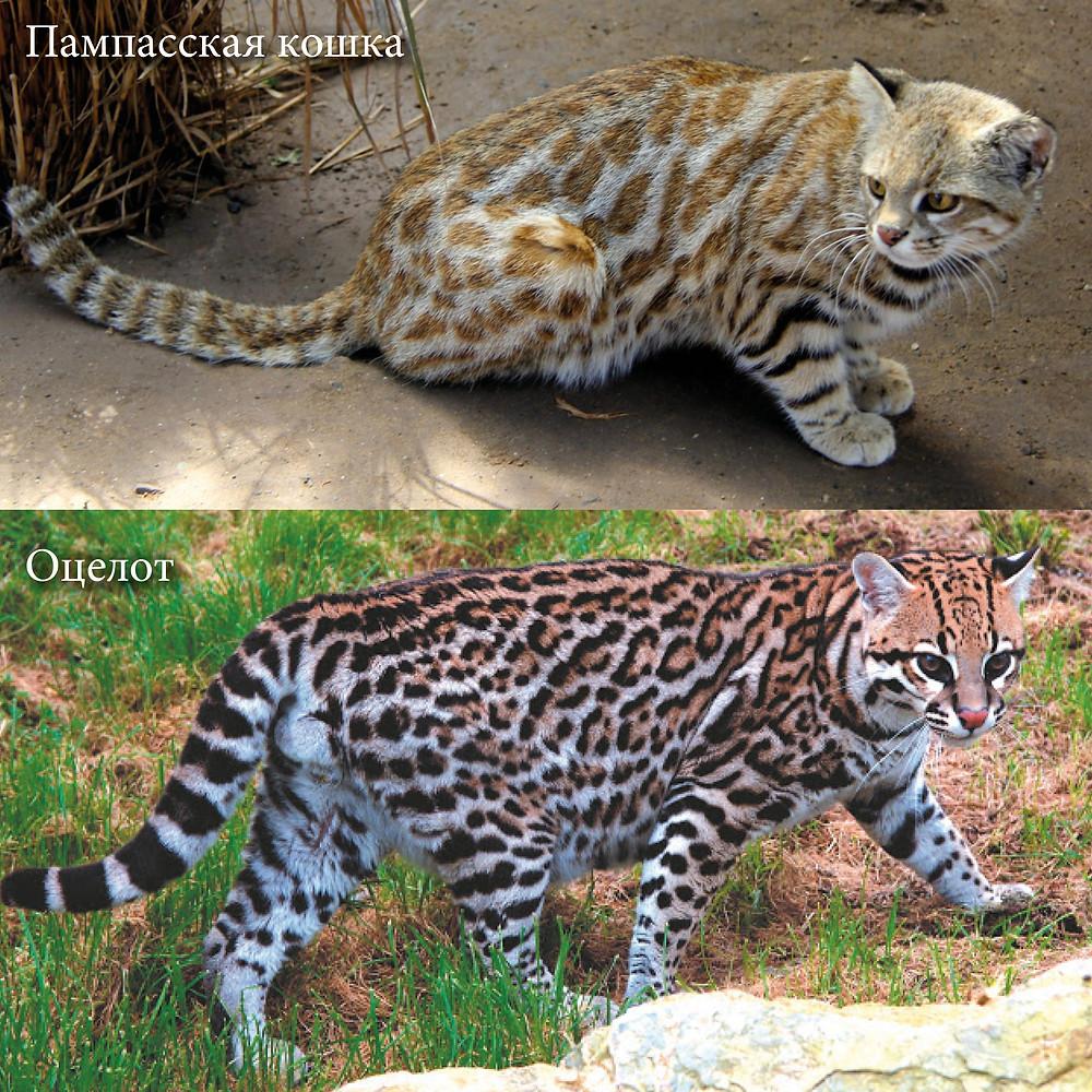 Пампасская кошка и оцелот.