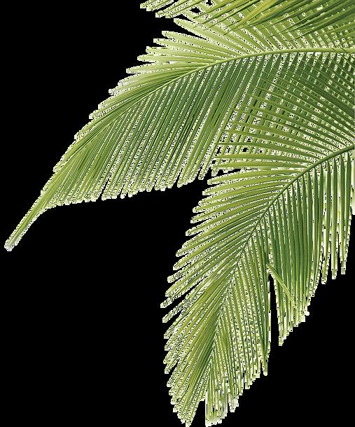 Palm Leaves transparent background