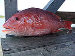 Red Snapper, Lutjanus campechanus