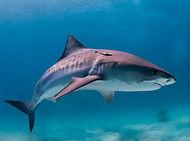 Tiger Shark, Galeocardo cuvier