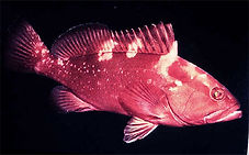 Red Grouper, Epinephelus morio