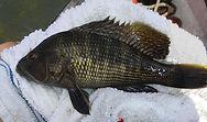 Black Sea Bass, Centropristis striata